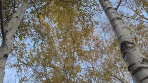 シラカバの黄葉