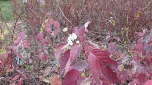 サンゴミズキの白い実と紅葉