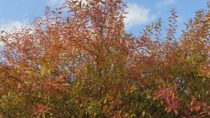 ユキヤナギの紅葉