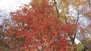 サラサドウダンの紅葉