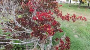 ドウダンツツジの実と紅葉