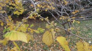 アメリカマンサクの黄色い花と黄葉