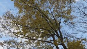 ハルニレの黄葉