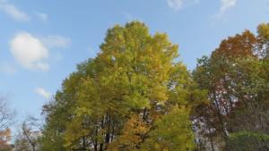 青空とユリノキの黄葉