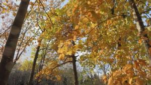 アカナラの黄葉