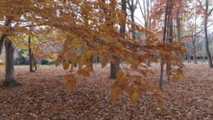 ブナの林と落ち葉
