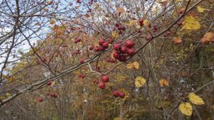 アメリカサンザシの赤い実