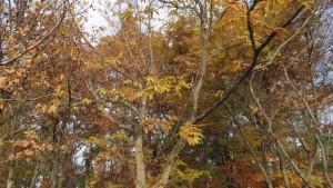 クリの黄葉