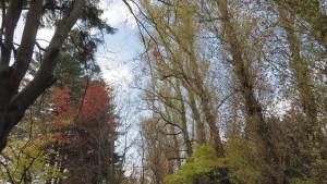 ポプラと紅葉の木立