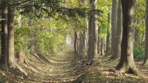散策路とヤチダモの並木