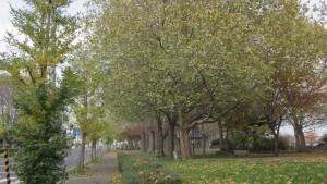 プラタナスの並木(屯田西公園)