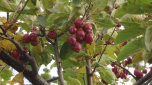 エゾノコリンゴの赤い実