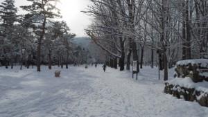 円山公園内のアカナラ並木(右)