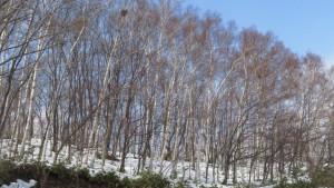 青空とシラカバの木立