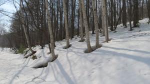 木々の周りの雪根開き