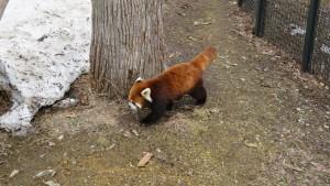 歩き回るレッサーパンダ
