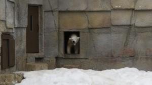 出入口から顔を出すホッキョクグマ