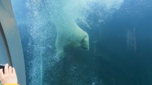 水中トンネルから見たホッキョクグマ