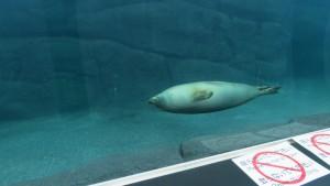 プールを泳ぐゴマフアザラシ