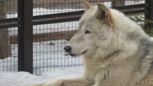 エゾシカ・オオカミ舎のオオカミ