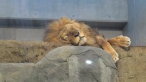 カバ・ライオン館のライオン