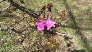 エゾムラサキツツジの花