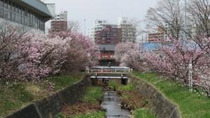 精進川とチシマザクラ