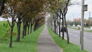 新川さくら並木
