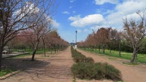 桜モール(エゾヤマザクラの並木道)