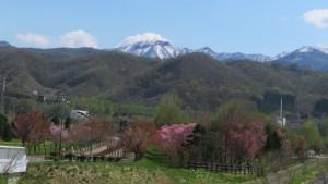 桜と手稲山