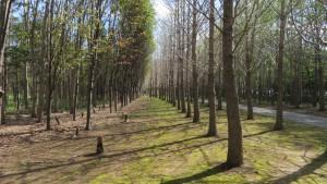 散策路とイチョウ並木