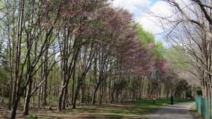 エゾヤマザクラの並木