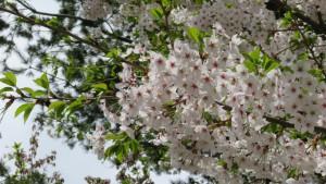 ソメイヨシの花