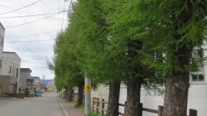月寒小学校脇のカラマツ並木