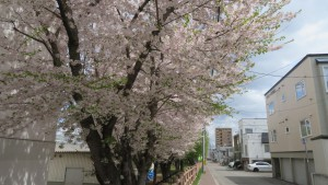 月寒小学校脇のソメイヨシノ