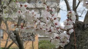 ブンゴウメの花