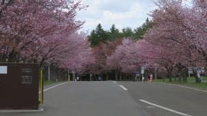 エゾヤマザクラ並木