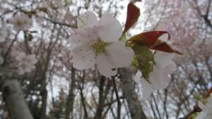 ミネザクラの花