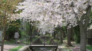 真駒内用水と桜