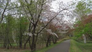 桜と散策路