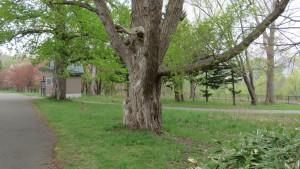 シロヤナギの巨木