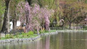ボート池の周りのシダレザクラ