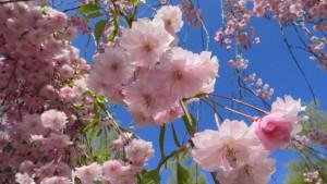 シダレザクラの花