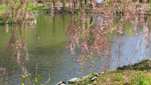 シダレザクラと鴨