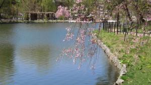 池とシダレザクラ