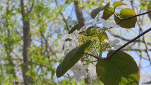 オオカメノキの花