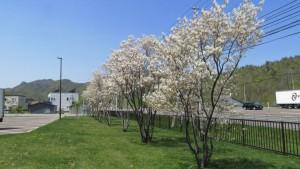 アメリカザイフリボクの並木