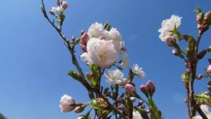 アマノガワの花