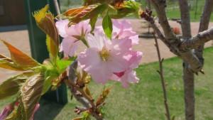 イトククリの花