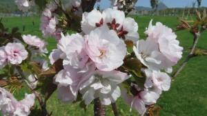 ナデンの花